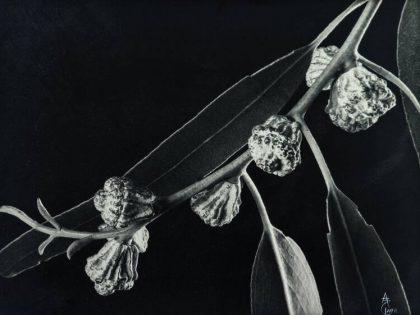Anatole Saderman. Eucalipto, ca. 1934.